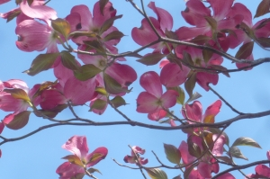 ハナミズキの春が!
