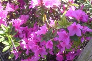 サツキが咲き始めました!