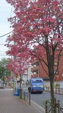 春は赤い街路樹