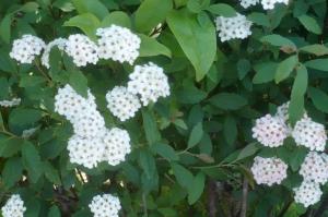コデマリは夏を知らせる花