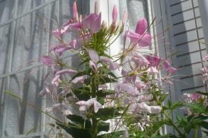 この花は夕方から開きます!