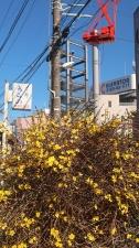 今年も咲いた「黄梅」