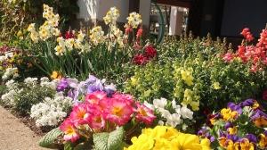 「スイセン」が咲いたよ。