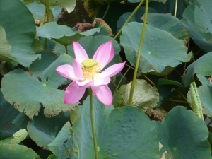 泥からこんなに美しさを見せる「ハス」の花