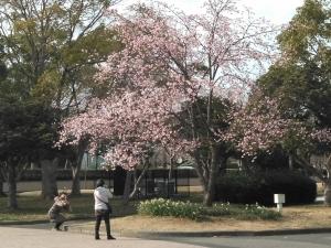 大寒桜と水仙