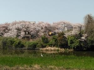 川を隔てた三郷の桜を借景して