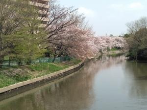 水面に桜の花びらが