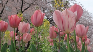 「桜」も咲いた