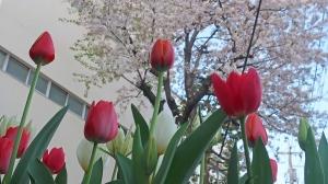 春は「桜」と