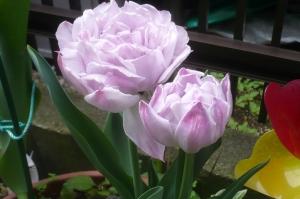 今咲いています!