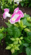 トレニアの花♪