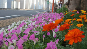 咲き、広がってきた
