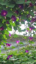 朝の散歩で花探し