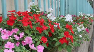 きれいに、長く咲くのが魅力。
