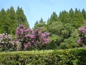 サルスベリの森