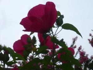 これからも咲く「アメリカフヨウ」