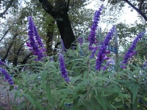 ビロードの様な柔らかな花、ベロニカ・パープルアイシウス
