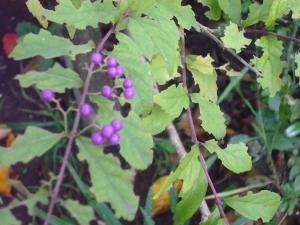 ムラサキ玉は秋色の「ムラサクシキブ」 水元3丁目(5)